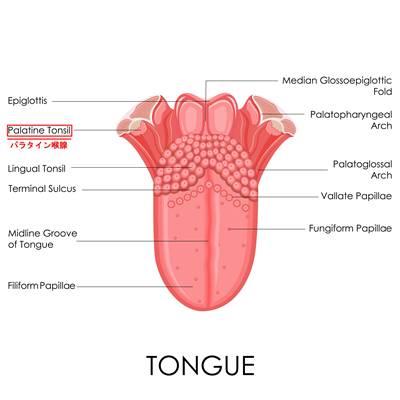 パラタイン喉腺の位置を覚える